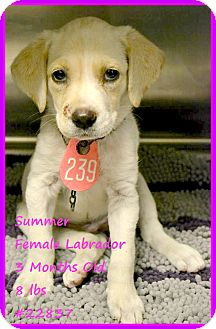 Labrador Retriever Mix Puppy for adoption in Beaumont, Texas - Summer