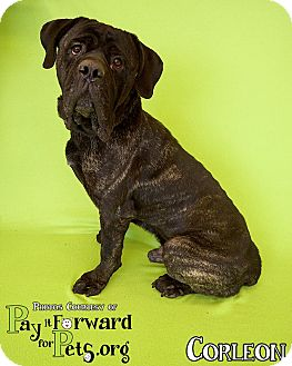 Cane Corso Mix Dog for adoption in Sharon Center, Ohio - Corleone