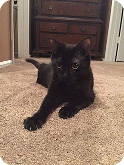 Domestic Shorthair Kitten for adoption in Jackson, New Jersey - Annabelle