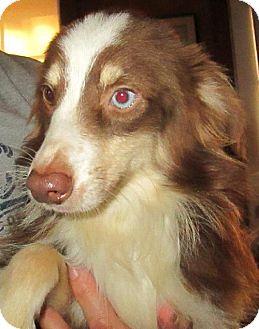 Australian Shepherd Dog for adoption in Waldron, Arkansas - WYATT MINI  BARKLEY