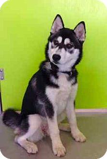 Siberian Husky Mix Puppy for adoption in Los Angeles, California - SASHA