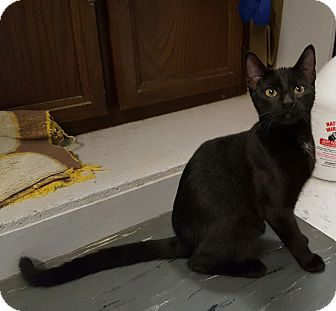 Domestic Shorthair Kitten for adoption in Maryville, Illinois - Patti Panther