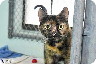 Domestic Shorthair Cat for adoption in Clearwater, Florida - Choo Choo