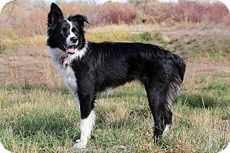Border Collie Mix Dog for adoption in Idaho Falls, Idaho - Sophia