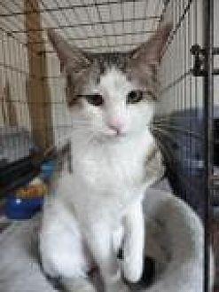 Domestic Shorthair Cat for adoption in Stuart, Virginia - Jolene