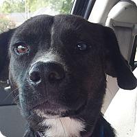 Adopt A Pet :: Velvet AD 03-18-17 - Preston, CT