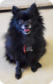 Pomeranian Mix Dog for adoption in Des Moines, Iowa - Annabella
