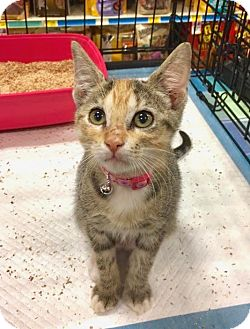Domestic Shorthair Kitten for adoption in Smithtown, New York - Gingersnap