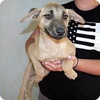 Adopt A Pet :: AUSSIE CAT PUPS C - Corona, CA