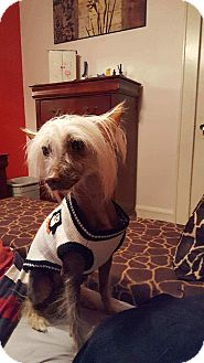 Chinese Crested Dog for adoption in Astoria, New York - Poppy:adoption pending