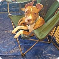 Adopt A Pet :: Porkchop- Courtesy Post - Phoenix, AZ