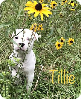 American Bulldog Mix Puppy for adoption in Cranford, New Jersey - Tillie