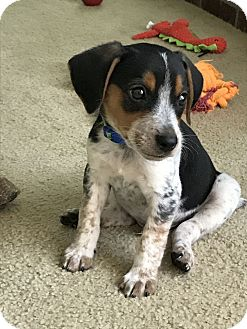 Beagle Mix Puppy for adoption in Chattanooga, Tennessee - Felix