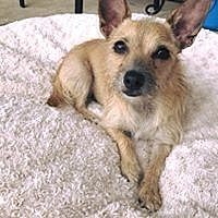 Jack Russell Terrier/Wirehaired Fox Terrier Mix Dog for adoption in MCKINNEY, Texas - Peaches