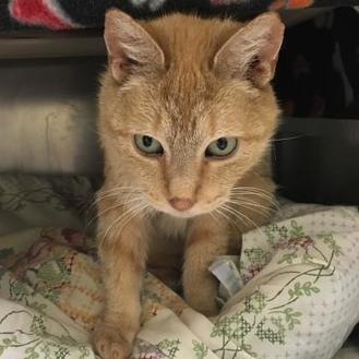 Domestic Shorthair/Domestic Shorthair Mix Cat for adoption in Chestertown, Maryland - Karen