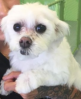 Maltese Mix Dog for adoption in Dana Point, California - Lucy