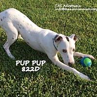 Adopt A Pet :: Pup Pup - Spring, TX