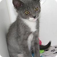 Domestic Mediumhair Kitten for adoption in New Kensington, Pennsylvania - Kittens