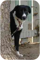 Border Collie Dog for adoption in West Richland, Washington - Taylor