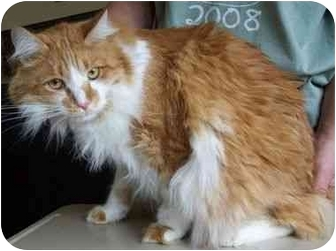 Manx Cat for adoption in North Judson, Indiana - Baily