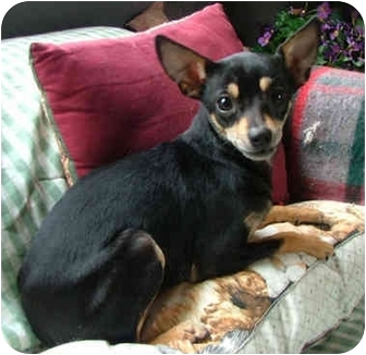 Chihuahua Mix Dog for adoption in Dallas, Texas - Poppy