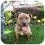 Photo 1 - Shar Pei/American Staffordshire Terrier Mix Dog for adoption in Dayton, Ohio - Tiger