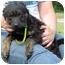 Photo 2 - Poodle (Miniature)/Poodle (Standard) Mix Puppy for adoption in Mahwah, New Jersey - Samantha