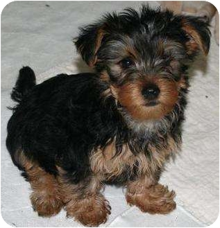Silky Terrier/Yorkie, Yorkshire Terrier Mix Puppy for adoption in House Springs, Missouri - Ames