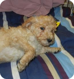 Poodle (Standard) Puppy for adoption in Antioch, Illinois - Grady
