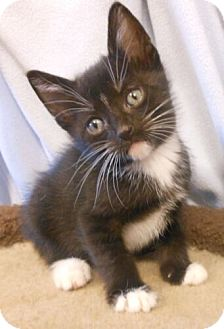 Domestic Shorthair Kitten for adoption in Reston, Virginia - Duke