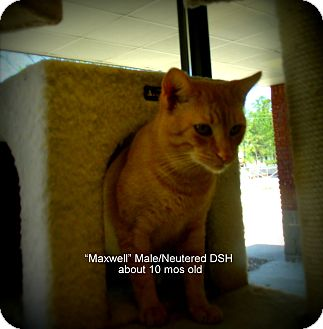 Domestic Shorthair Cat for adoption in Gadsden, Alabama - Maxwell