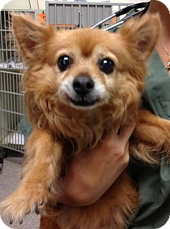 Chihuahua Mix Dog for adoption in Gainesville, Florida - Sasha
