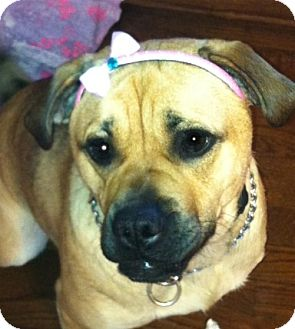 Pug/Labrador Retriever Mix Dog for adoption in North Olmsted, Ohio - Bella-Courtesy Post