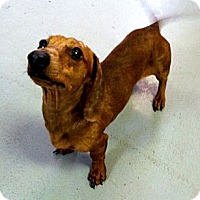 Adopt A Pet :: Piccolo - Fort Riley, KS