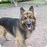 Adopt A Pet :: Mufasa - Green Cove Springs, FL