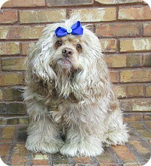 Cocker Spaniel Dog for adoption in Benbrook, Texas - Aspen