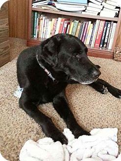 Labrador Retriever Mix Dog for adoption in Stephenville, Texas - Max