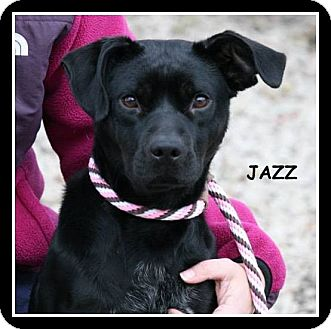 Labrador Retriever/Pit Bull Terrier Mix Dog for adoption in Champaign, Illinois - JAZZ