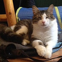 Domestic Mediumhair Cat for adoption in Montreal, Quebec - Inti