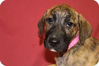 Labrador Retriever Mix Puppy for adoption in Waldorf, Maryland - Fiona