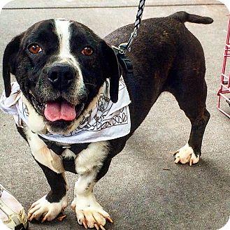 Boston Terrier/Basset Hound Mix Dog for adoption in Asheboro, North Carolina - Ryder