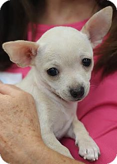 Chihuahua Mix Puppy for adoption in Minneapolis, Minnesota - Isobel