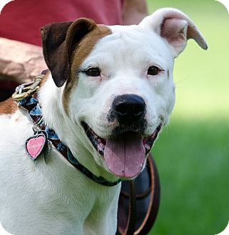 Pit Bull Terrier Dog for adoption in Hackettstown, New Jersey - Beth