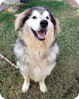 Great Pyrenees Mix Dog for adoption in Tulsa, Oklahoma - Tango  Adopted