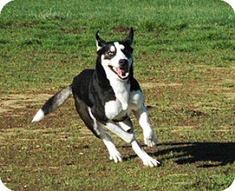 Siberian Husky/German Shepherd Dog Mix Dog for adoption in Woodburn, Oregon - Hunter - Adoption Pending!