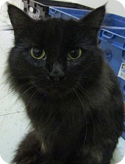 Domestic Mediumhair Cat for adoption in Marble, North Carolina - Star