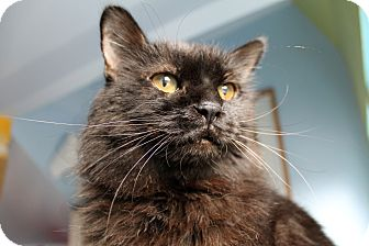 Domestic Longhair Cat for adoption in Chicago, Illinois - Taco