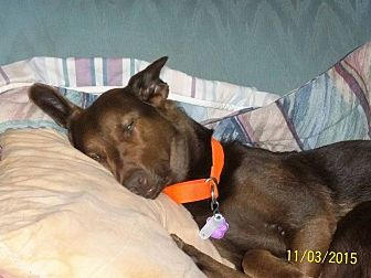 Border Collie/Labrador Retriever Mix Dog for adoption in Sumter, South Carolina - Dakota3