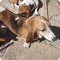 Adopt A Pet :: Reba - Albuquerque, NM