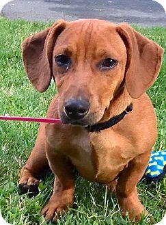 Dachshund/Basset Hound Mix Puppy for adoption in Westport, Connecticut - *Ronan - PENDING
